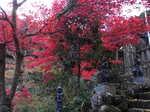 大山寺階段脇の紅葉