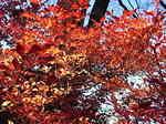 六義園内の紅葉1.JPG