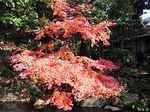 旧古河庭園内大滝付近の紅葉.JPG