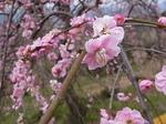 曽我梅林2013中河原会場のしだれ梅の花1.JPG