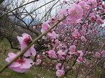 曽我梅林2013中河原会場のしだれ梅の花2.JPG