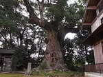 河津来宮神社国指定天然記念物の大楠の木.JPG