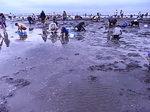 ふなばし三番瀬海浜公園潮干狩り会場2.JPG