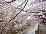 恩田川桜祭り2015-1.JPG