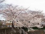 恩田川桜祭り2015-2.JPG