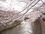恩田川桜祭り2015-3.JPG