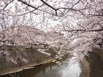 恩田川桜祭り2015-4.JPG