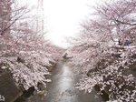 恩田川桜祭り2015-5.JPG
