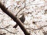 恩田川桜祭り2015-6.JPG