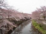 恩田川桜祭り2015-7.JPG