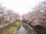 恩田川桜祭り2015-8.JPG