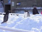 旭山動物園のジェンツーペンギン1.JPG