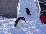 旭山動物園のジェンツーペンギン2.JPG