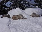 旭山動物園の森林オオカミ.JPG