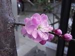 曽我梅林別所会場で購入した藤ボタン枝垂れ梅の花-1.JPG