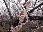曽我梅林原会場の白梅2012-2.JPG