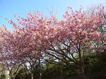 桜祭り尾根緑道2013カンザン1.JPG