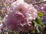 桜祭り尾根緑道2013カンザン3.JPG