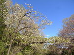 桜祭り尾根緑道2013シロタエ1.JPG