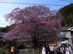 河津桜の原木.JPG