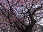 河津桜の原木の枝ぶり.JPG