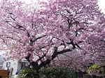 河津桜の原木の桜の花.JPG
