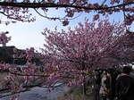 河津桜祭り川岸の河津桜.JPG