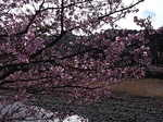 河津桜祭り河津川岸の川津桜の枝ぶり.JPG