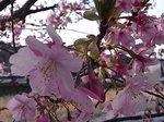河津桜祭り河津川岸の川津桜の花.JPG