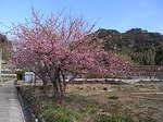 河津桜祭り河津町の田んぼのあぜ道里山風景.JPG