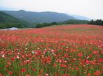 秩父高原牧場のポピー畑2.JPG
