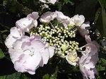 開成あじさい祭八重咲きガクアジサイ白1.JPG
